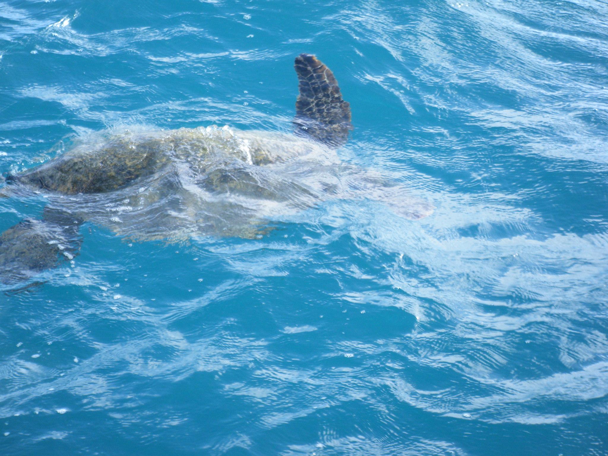 海亀 ハワイ
